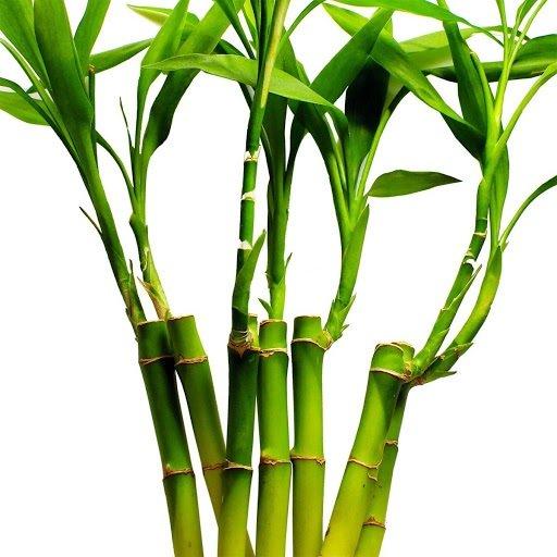 plantas feng shui