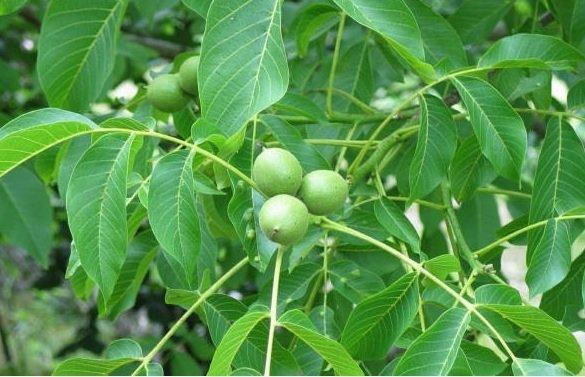 nogal-planta-curativa-remedio-natural
