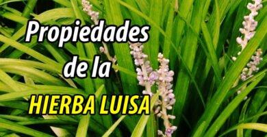 PROPIEDADES HIERBA LUISA