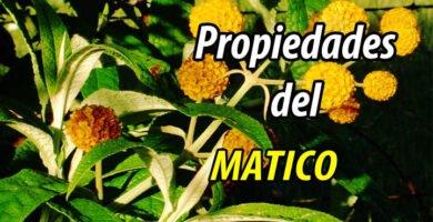 PROPIEDADES MATICO